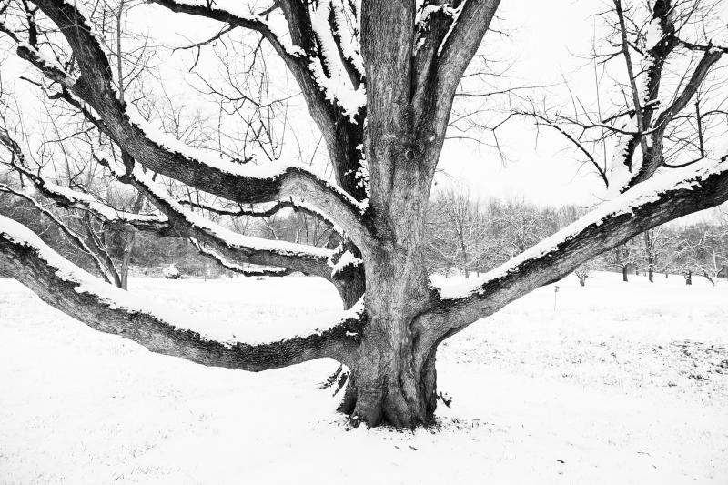 old tree 2 bw-1
